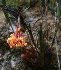 orchidej v NP Río Abiseo
